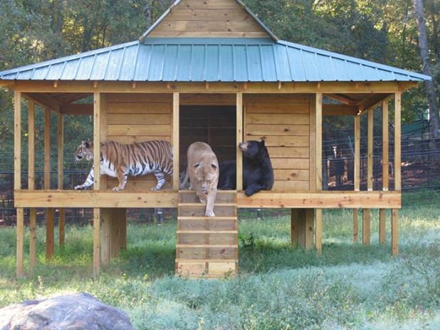 amistad-animal-inusual-oso-leon-tigre-santuario-georgia-8