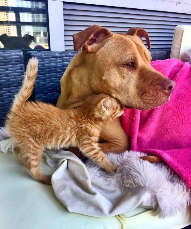 amistad-perro-pitbull-bubba-gata-rue-adoptados-12