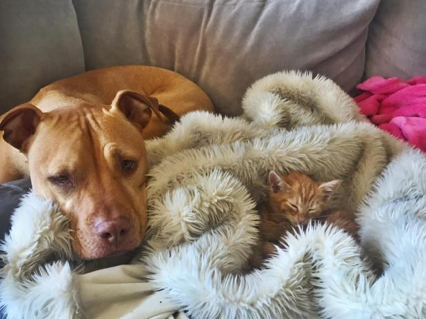 amistad-perro-pitbull-bubba-gata-rue-adoptados-4