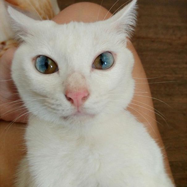 gato-ojos-multicolor-heterocromia-sectorial-1