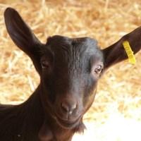 Criadores: Cabra Murciana Granadina