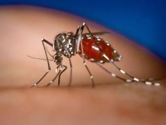 Zanzara Tigre della specie Aedes aegypti