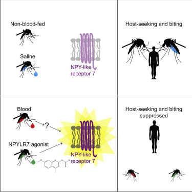 Abstract grafico originale dell'articolo scientifico pubblicato su Cell.com relativo al meccanismo di blocco ormonale dell'appetito ed aggressività delle Zanzare Tigre, per mezzo del loro recettore per l'NPY, detto NPYLR7.
