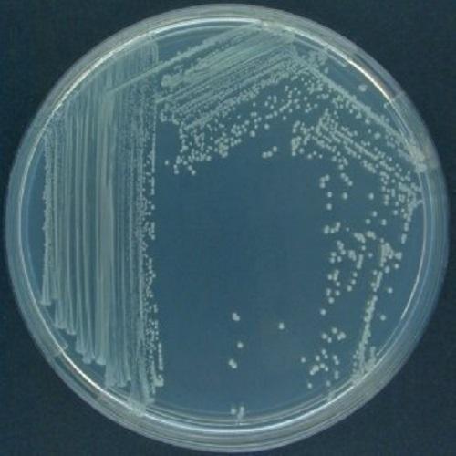 pseudomonasfluorescens