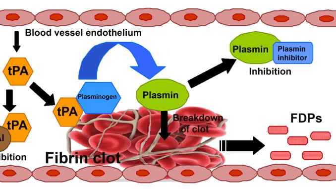 Il plasminogeno è una proteina umana, convertita nell'enzima plasmina tramite specifici attivatori