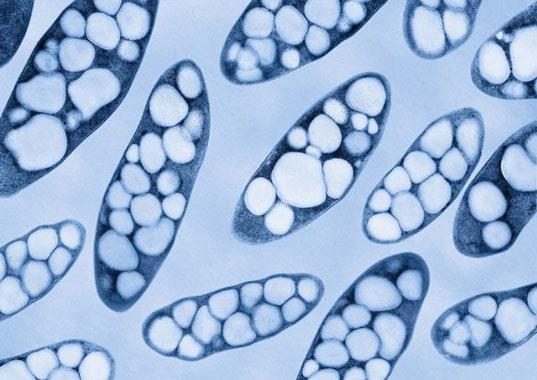 Immagine al microscopio di cellule batteriche contenenti granuli di PHA