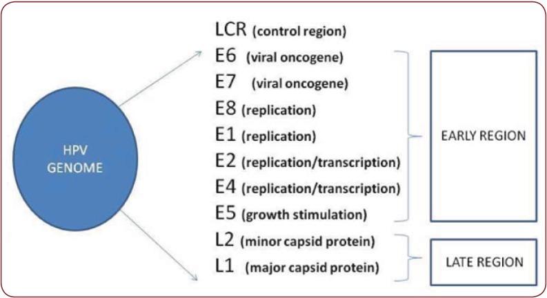 Rappresentazione schematica dei geni di HPV.