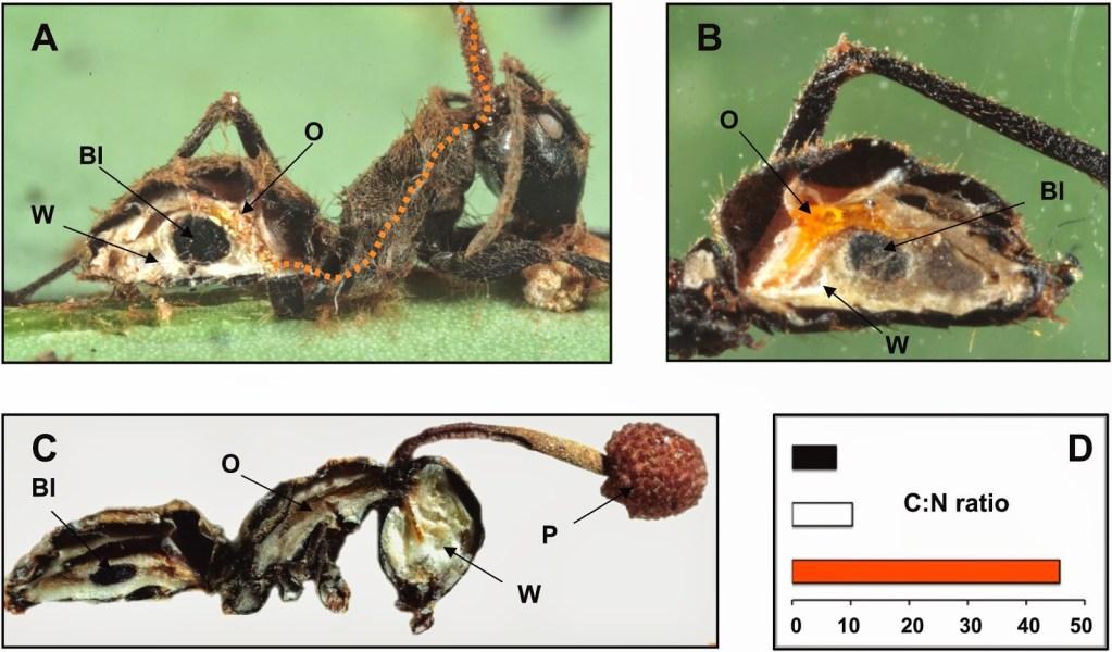 Dissezione longitudinale di una formica parassitata da Ophiocordyceps unilateralis