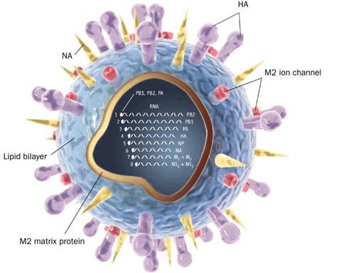 anatomia digitalizzata di un influenzavirus