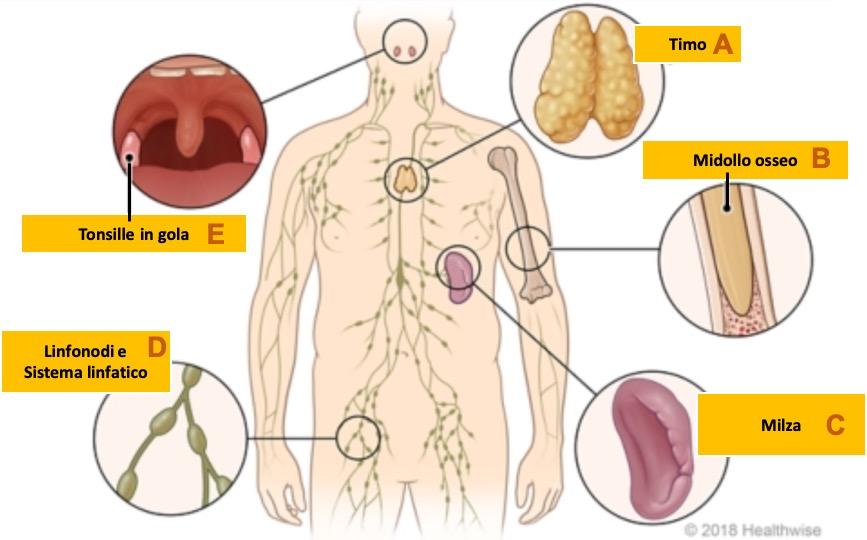 Rappresentazione degli organi principali del sistema immunitario.