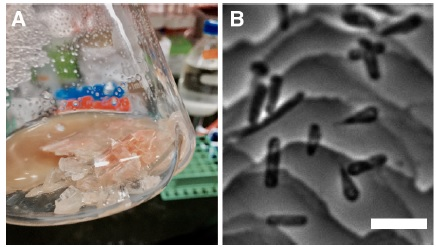 Halobacterium salinarum durante l'esperimento