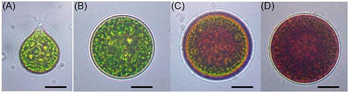 morfologie cellulari Haematococcus pluvialis