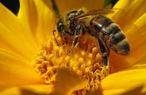impollinazione delle api