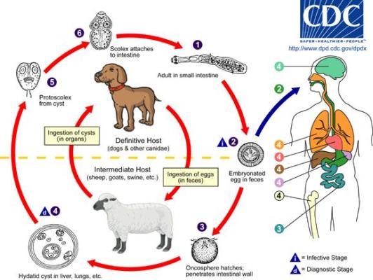 Ciclo biologico di E. granulosus