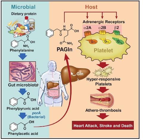 Schema riassuntivo del metabolismo della PEGIn