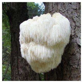 Hericium erinaceus viene considerata  la specie, tra i funghi medicinali, dotata di un particolare tropismo per l´apparato gastro-intestinale.