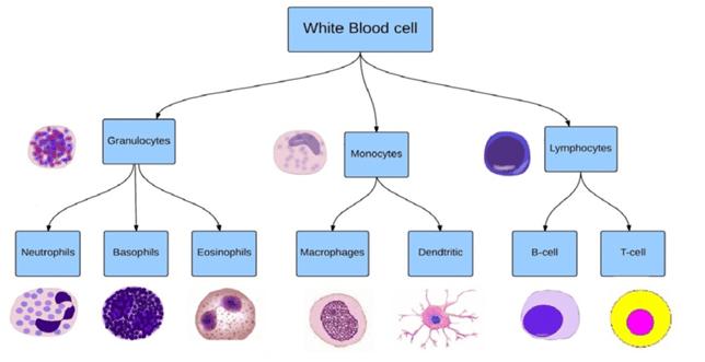 Le diverse cellule facenti del gruppo dei globuli bianchi