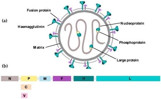(a) Rappresentazione di MeV, componenti strutturali e funzionali. Il genoma di MeV è strettamente associato alle proteine N, P ed L. Queste formano così il complesso ribonucleoproteico (RNP) circondato dalla matrice (M). Le glicoproteine H e F fungono da recettore virale e da proteina di fusione rispettivamente. (b) Genoma di MeV. Dall'estremità 3' alla 5' in sequenza sono mostrati tutti i geni che codificano per le proteine strutturali e non del virus.