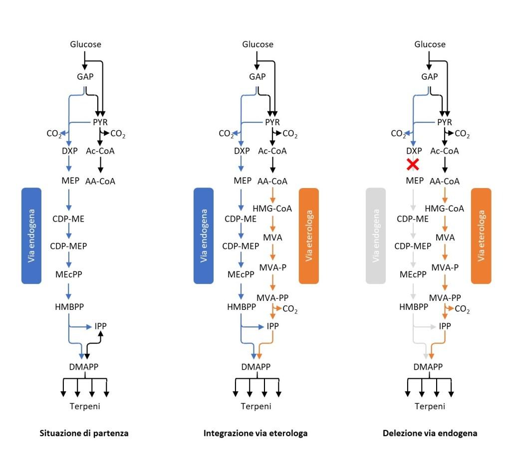 Pathway metabolici per la produzione di terpeni