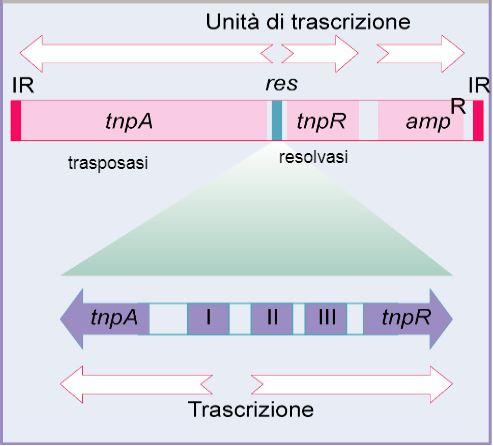 Rappresentazione schematica del trasposone TnA con i tre geni tnpA (trasposasi), tnpR (resolvasi) e ampR (gene di resistenza all'ampicillina)