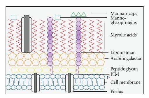 Struttura parete Mycobacterium leprae