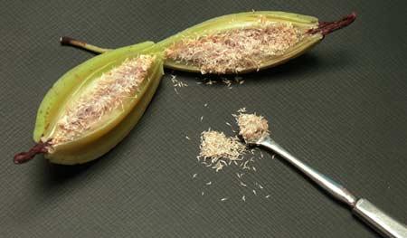 Figura 4: Semi di orchidea che vengono estratti dal frutto (capsula).