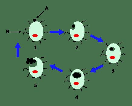 Ciclo replicativo di Chlamydophila pneumoniae