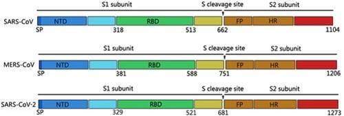 struttura della proteina spike dei principali coronavirus