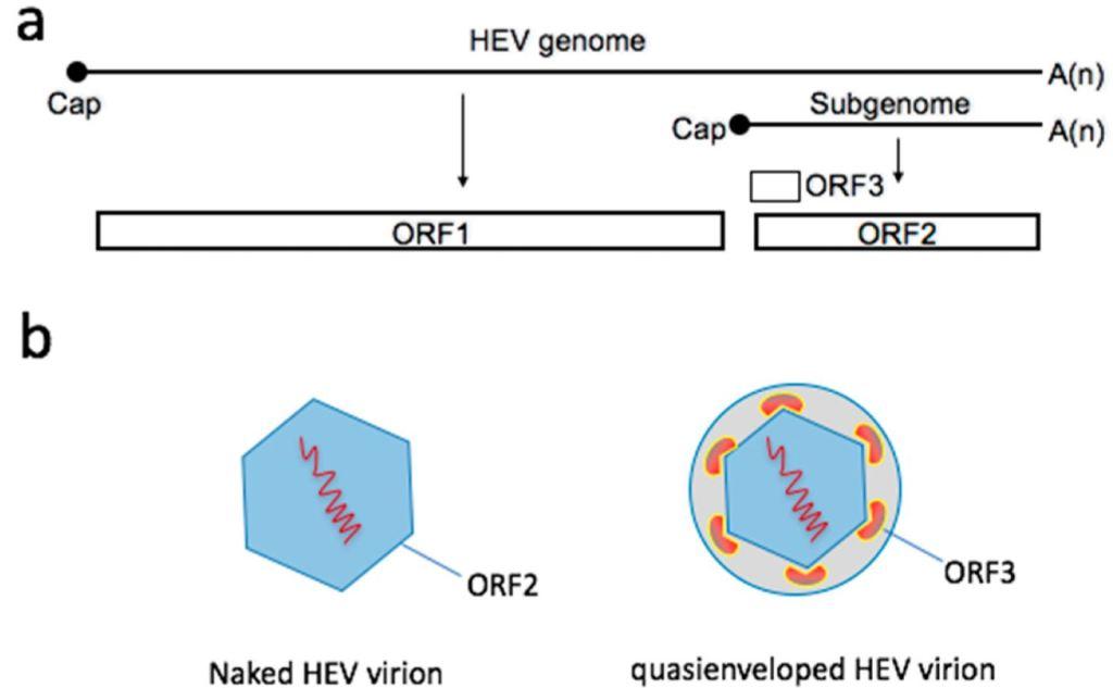 Genoma dell'epatite E