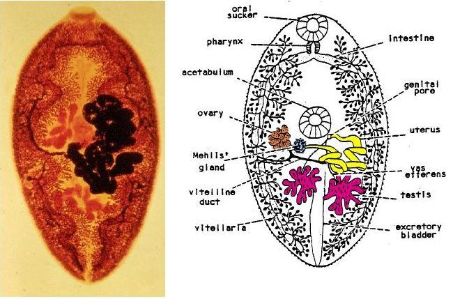 Verme adulto di P. westermani e rappresentazione schematica con indicazione dei vari organi