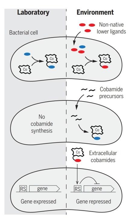 Figura 4- Differenza tra ciò che accade in interazioni microbiche create in laboratorio, con quello che succede negli habitat naturali dei microrganismi