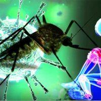 Virus Chikungunya: un microbiota sano per limitare l'infezione
