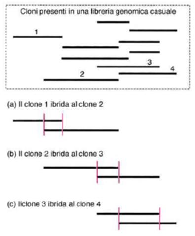 Attraverso questa figura si può capire visivamente cosa accade nella ricostruzione di un genoma: il primo frammento, parzialmente sovrapponibile con il secondo, viene utilizzato come sonda. A sua volta il secondo frammento viene utilizzato per trovare il terzo, infine il terzo per il quarto.