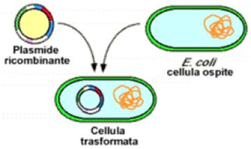 Inserimento del materiale genetico (plasmide) all'interno di una cellula ospite
