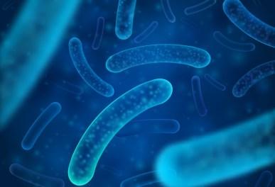 I lattobacilli sono i batteri maggiormente rappresentati nel microbiota vaginale quando si trova in una condizione di perfetto equilibrio (eubiosi).