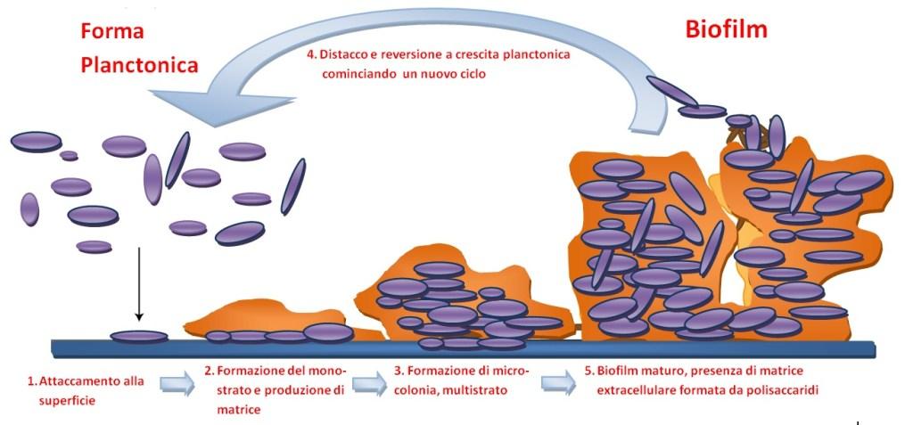 Rappresentazione schematica del processo di formazione di un biofilm.