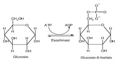 In figura viene mostrata l'aggiunta di un gruppo fosfato alla molecola di glucosio. Nonostante è possibile notare la doppia freccia, nell'ambiente intracellulare questa reazione è irreversibile.