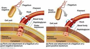 Flagella  Introduction, Types, Examples, Parts, Functions