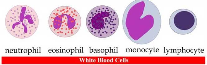 White Blood Cells (Leukocytes)