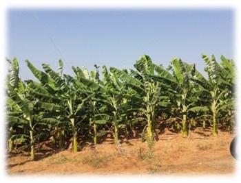 My_Banana_Cultivation