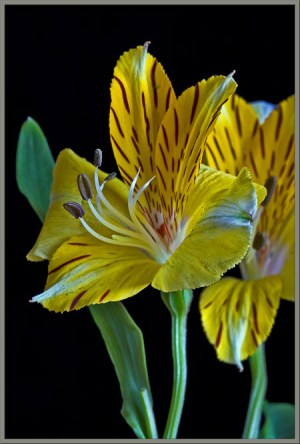A close up view of the Peruvian lily