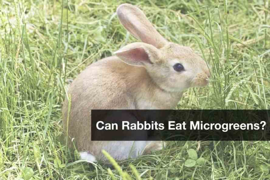 can rabbits eat microgreen