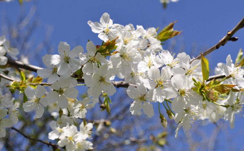 White spring blooming Flowers in a tree