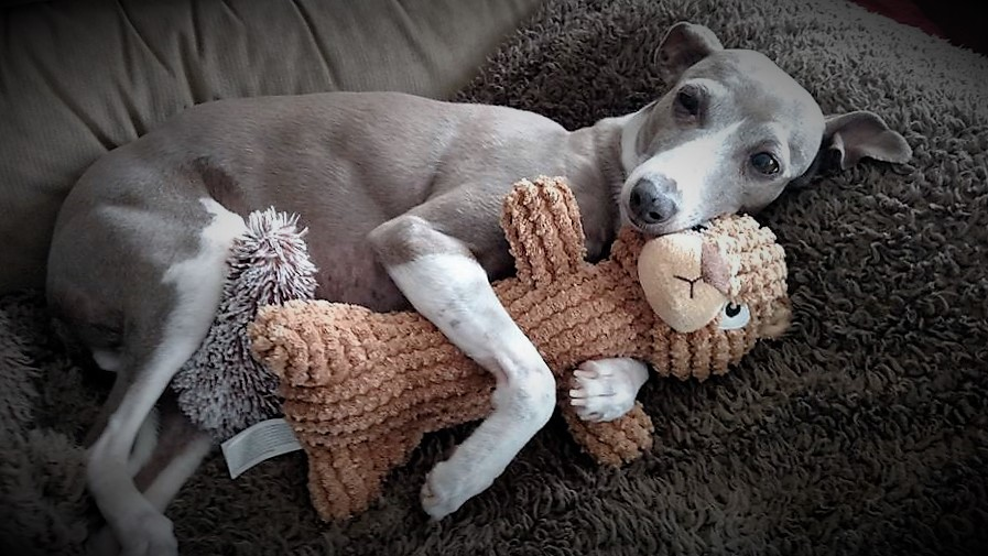 Image result for greyhound rescue