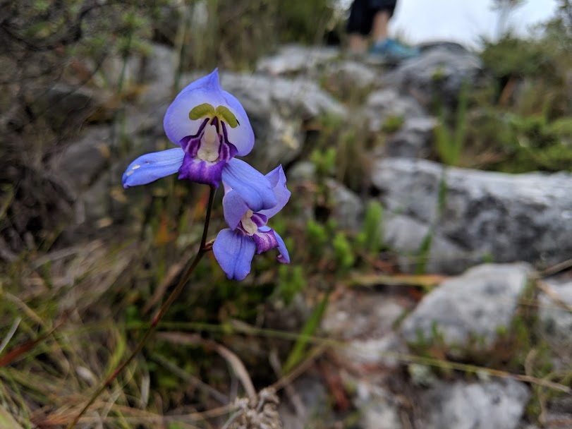 The Disa hunters: exploring the top of Table Mountain
