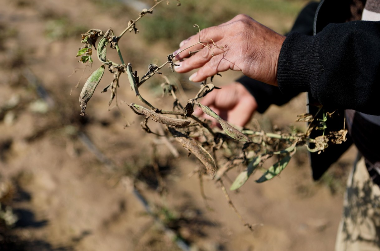 Aref Shamali shows rotten peas due to the flooding of agricultural lands in eastern Gaza (MEE/Mohammed al- Hajjar)