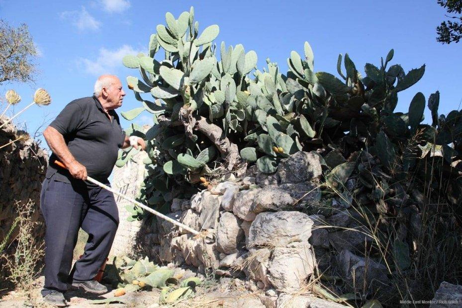 A Nakba-survivor collects 'Saber' (cactus fruit) in Kufr Birim.