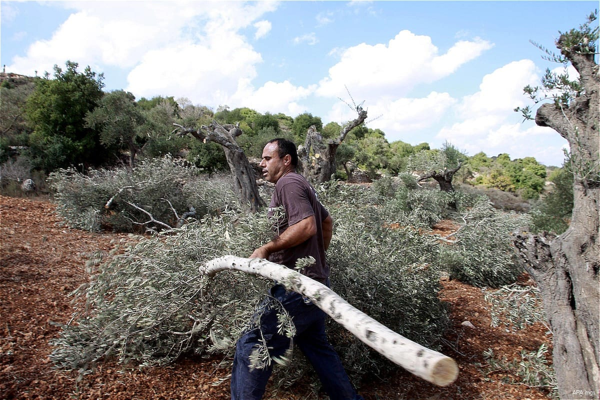Palestinian farmers inspect the damage done to their olive trees that were cut down by Israeli settlers on 11 April 2017 [Issam RimawiAnadolu Agency]