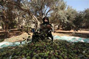 A Palestinian woman picks olives during harvest season at a farm in Bureij refugee camp, central Gaza Strip, October 6, 2016. [Ashraf Amra/ APA Images]