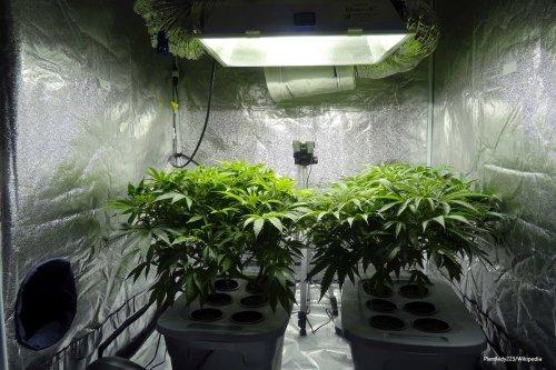 Two hydroponic cannabis plants [Plantlady223/Wikipedia]